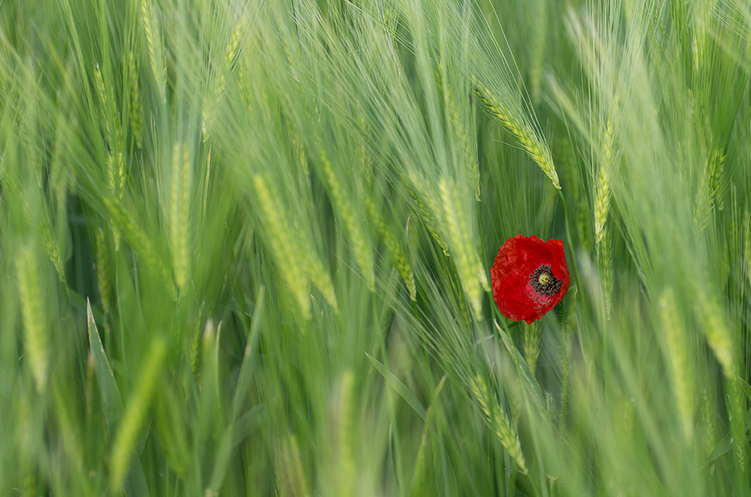 Poppy in rye
